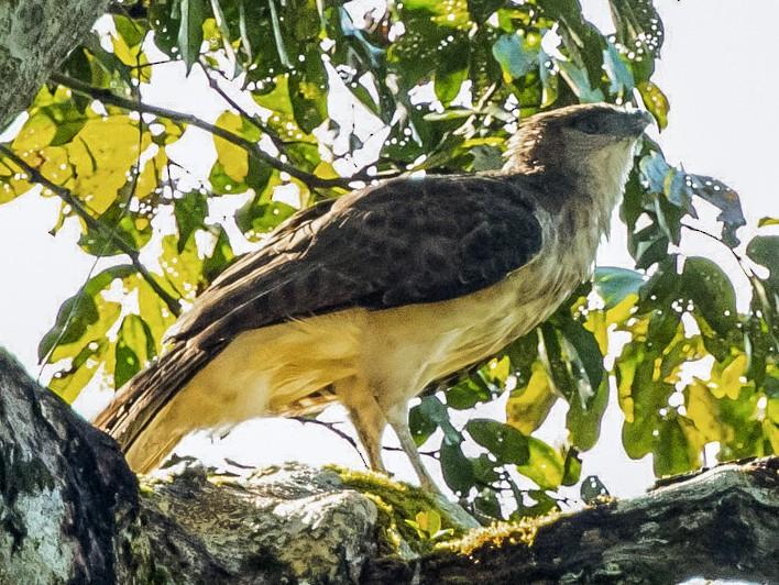 New Guinea Eagle - David Bishop