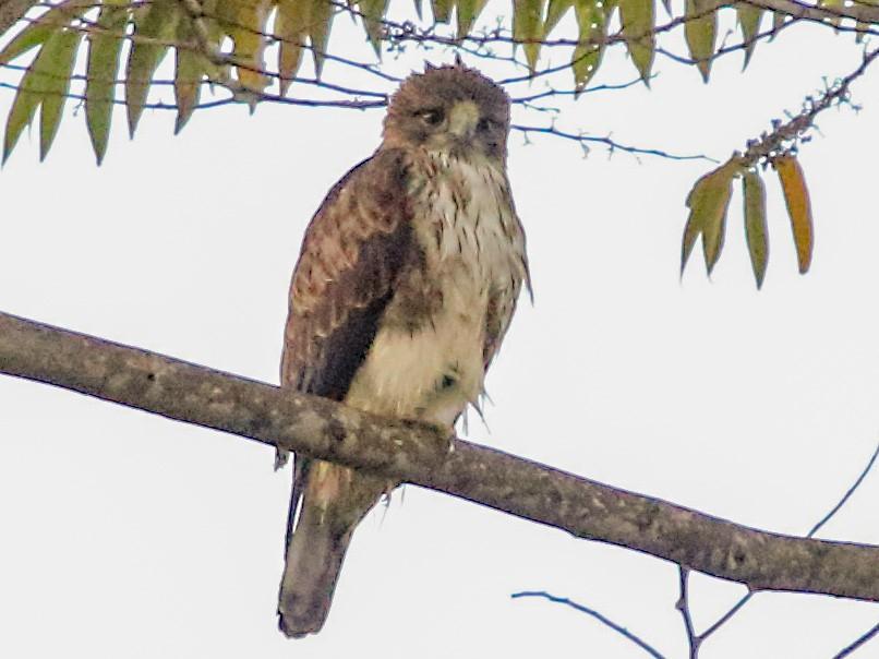 Pygmy Eagle - Myles McNally
