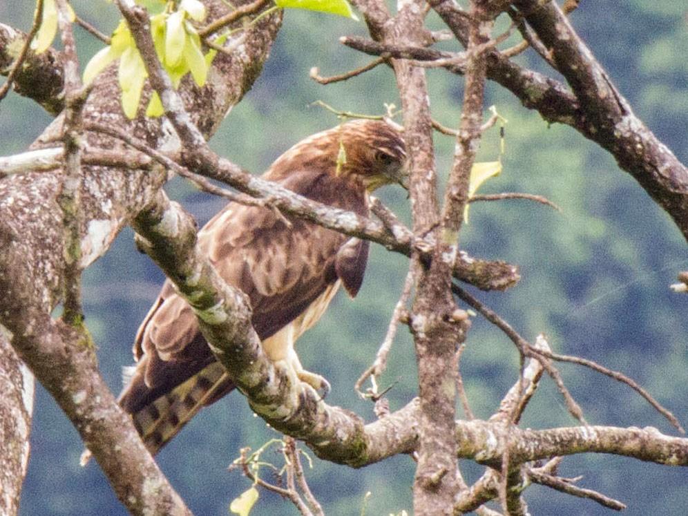 Pygmy Eagle - Kristof Zyskowski
