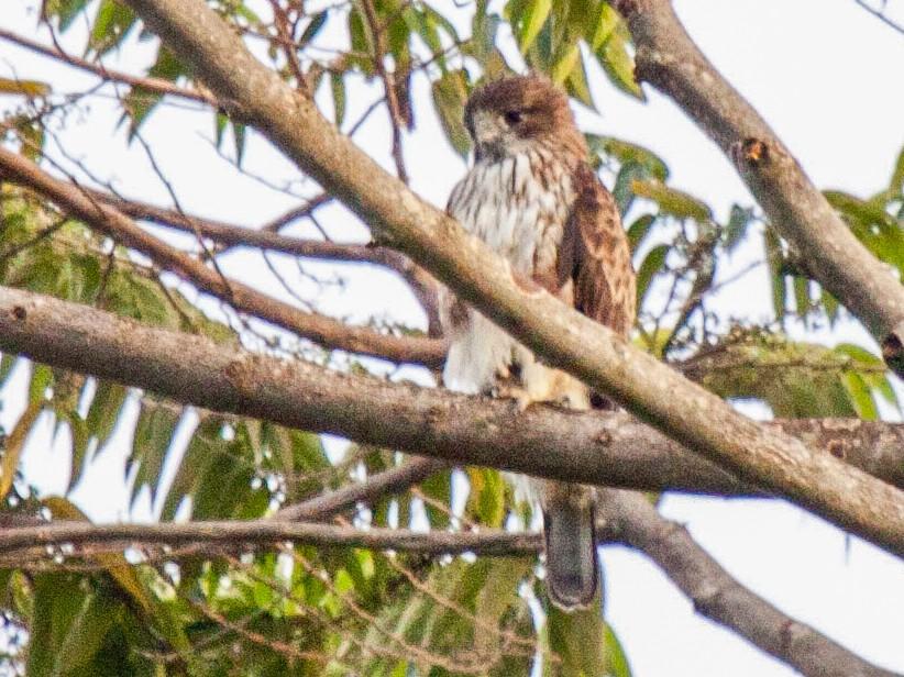 Pygmy Eagle - Sue Wright