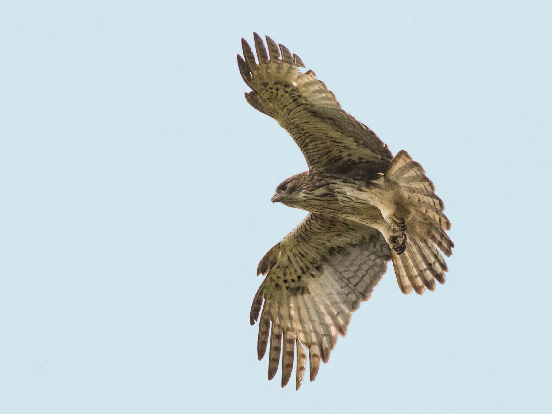 Pygmy Eagle - Doug Gochfeld