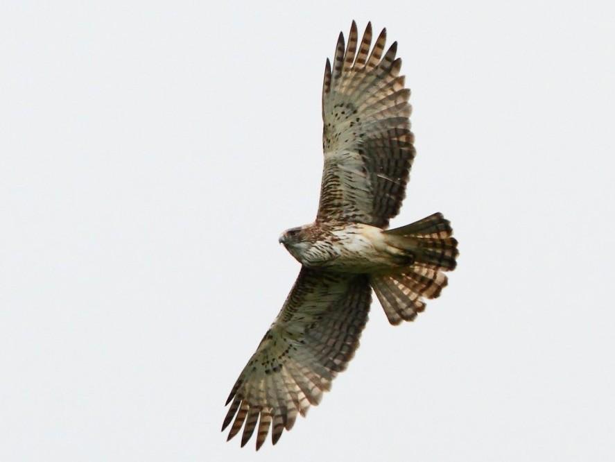 Pygmy Eagle - Markus Lilje