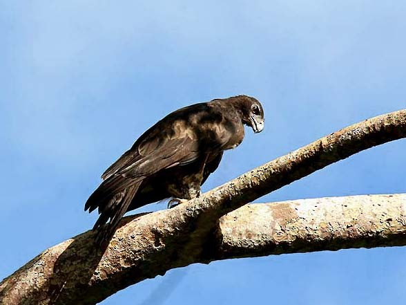 Gurney's Eagle - Mehd Halaouate