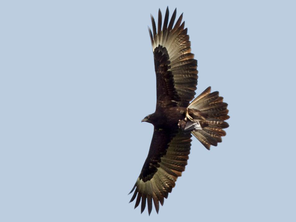 Gurney's Eagle - Lars Petersson