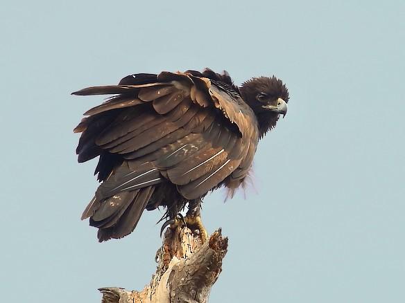 Gurney's Eagle - Carlos Bocos