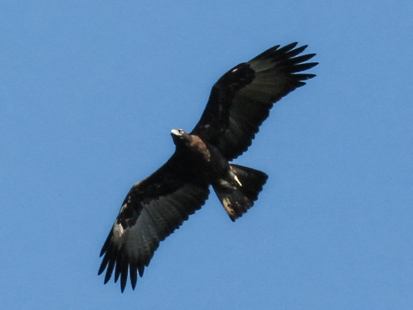 Gurney's Eagle - Charles Davies