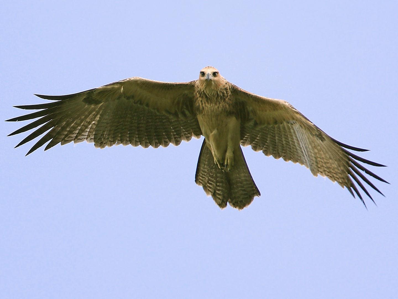 Gurney's Eagle - James Eaton