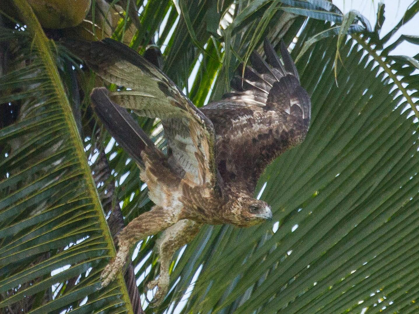 Gurney's Eagle - Eric VanderWerf