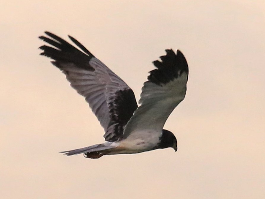 Papuan Marsh-Harrier - Charles Davies