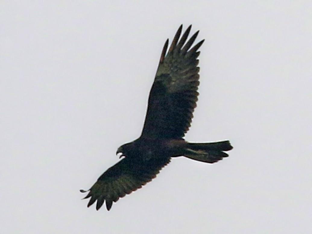 Papuan Marsh-Harrier - Charley Hesse https://www.schoolofbirding.com/
