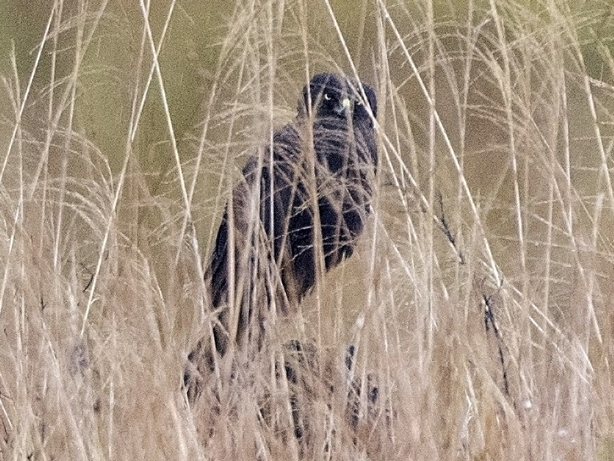 Papuan Marsh-Harrier - Bradley Hacker