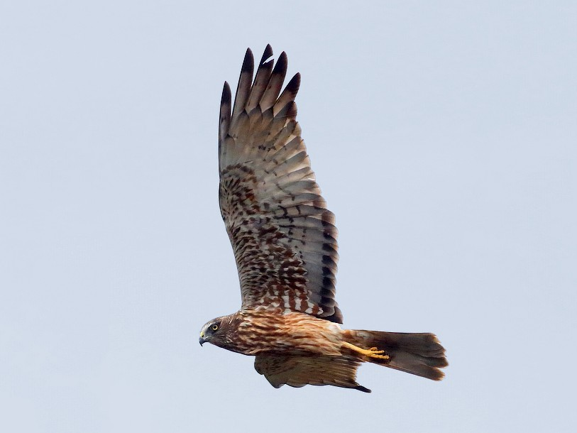 Papuan Marsh-Harrier - Carlos Bocos
