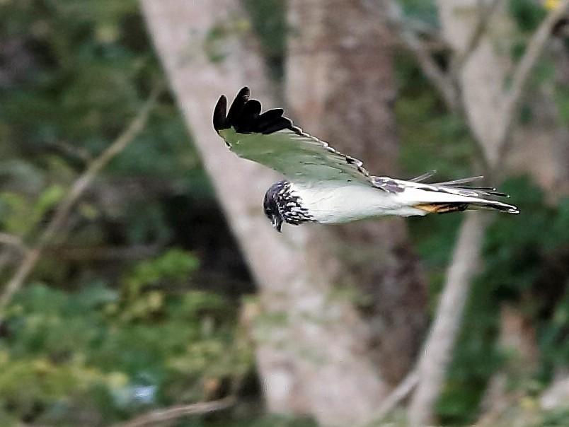 Papuan Marsh-Harrier - Holger Teichmann