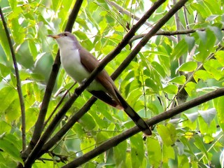 Yellow-billed Cuckoo, ML262504011