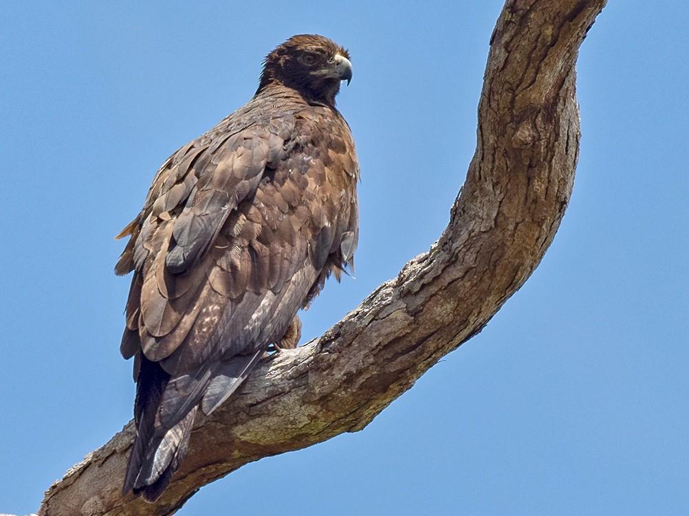 Gurney's Eagle - Sam Woods