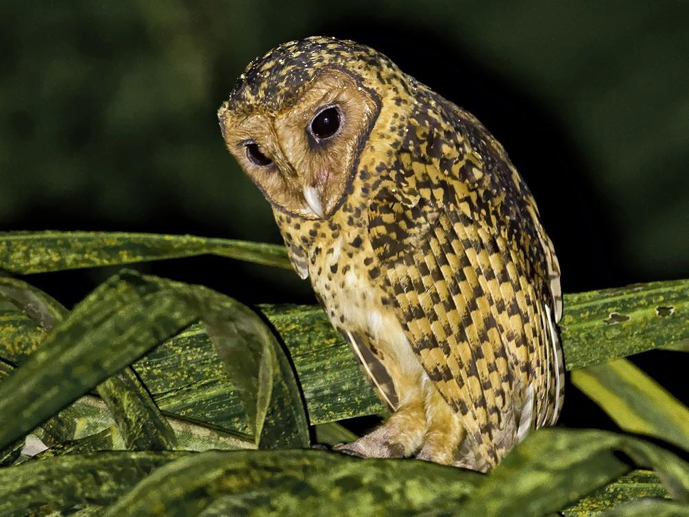 Golden Masked-Owl - Dusan Brinkhuizen