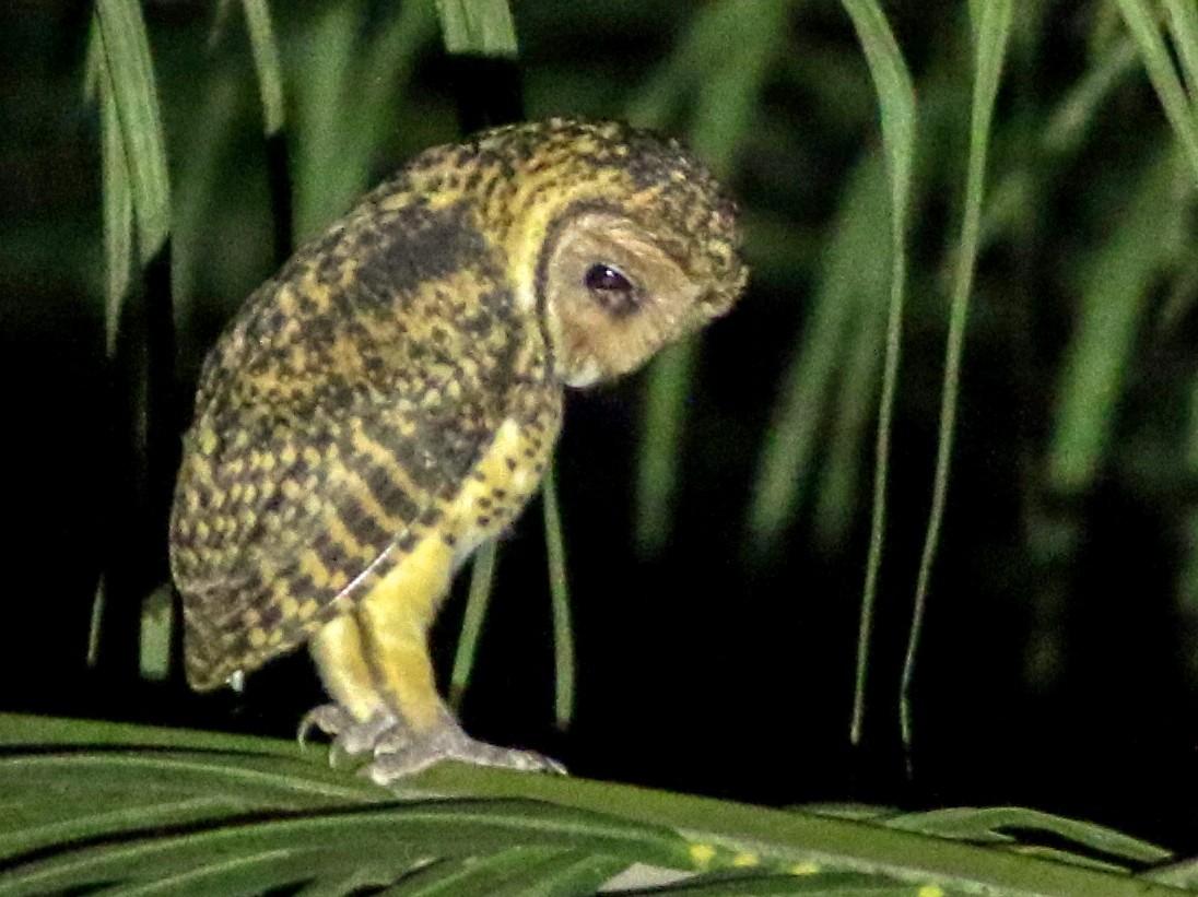 Golden Masked-Owl - Chris Wiley