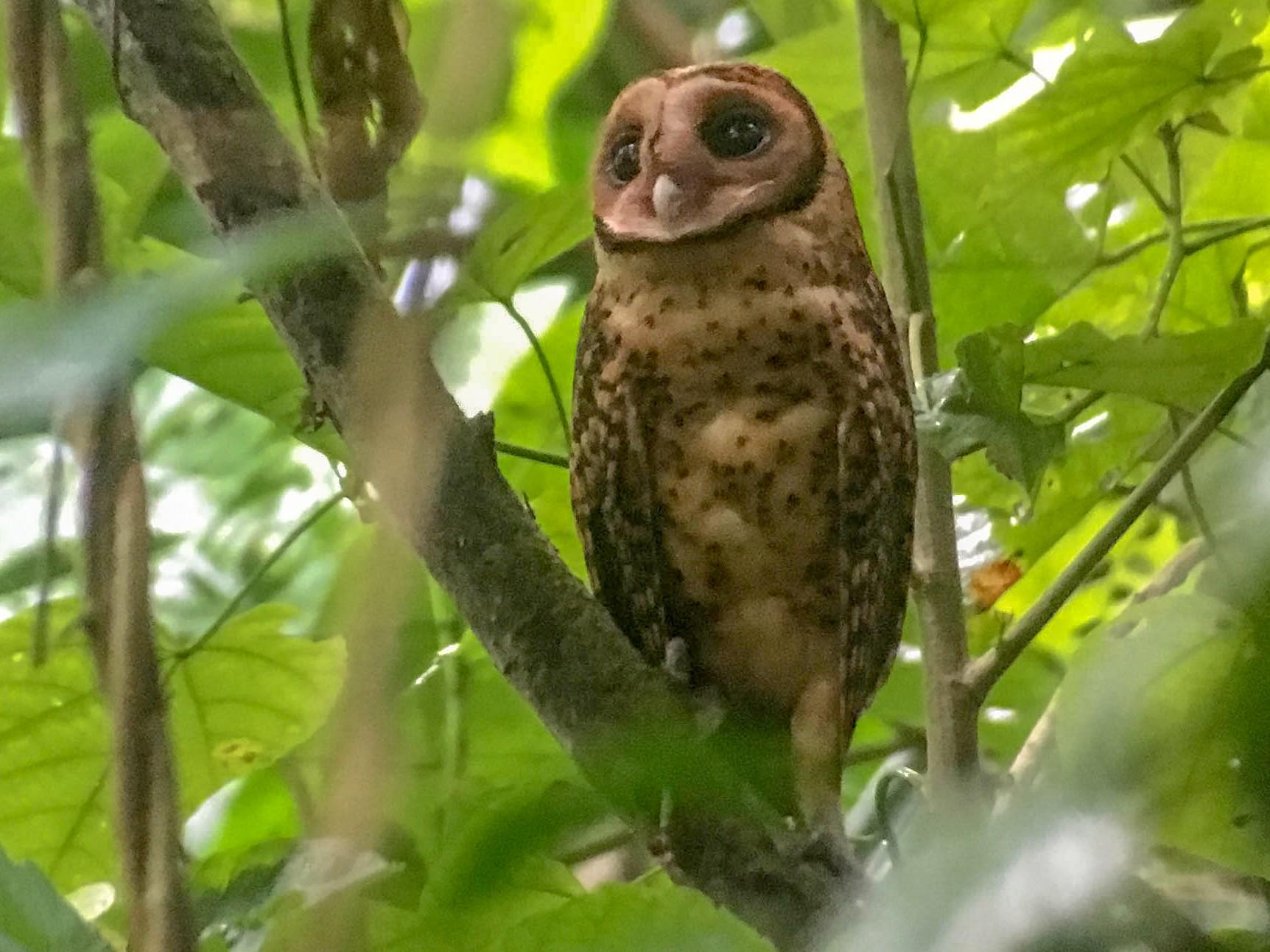 Golden Masked-Owl - Doug Gochfeld