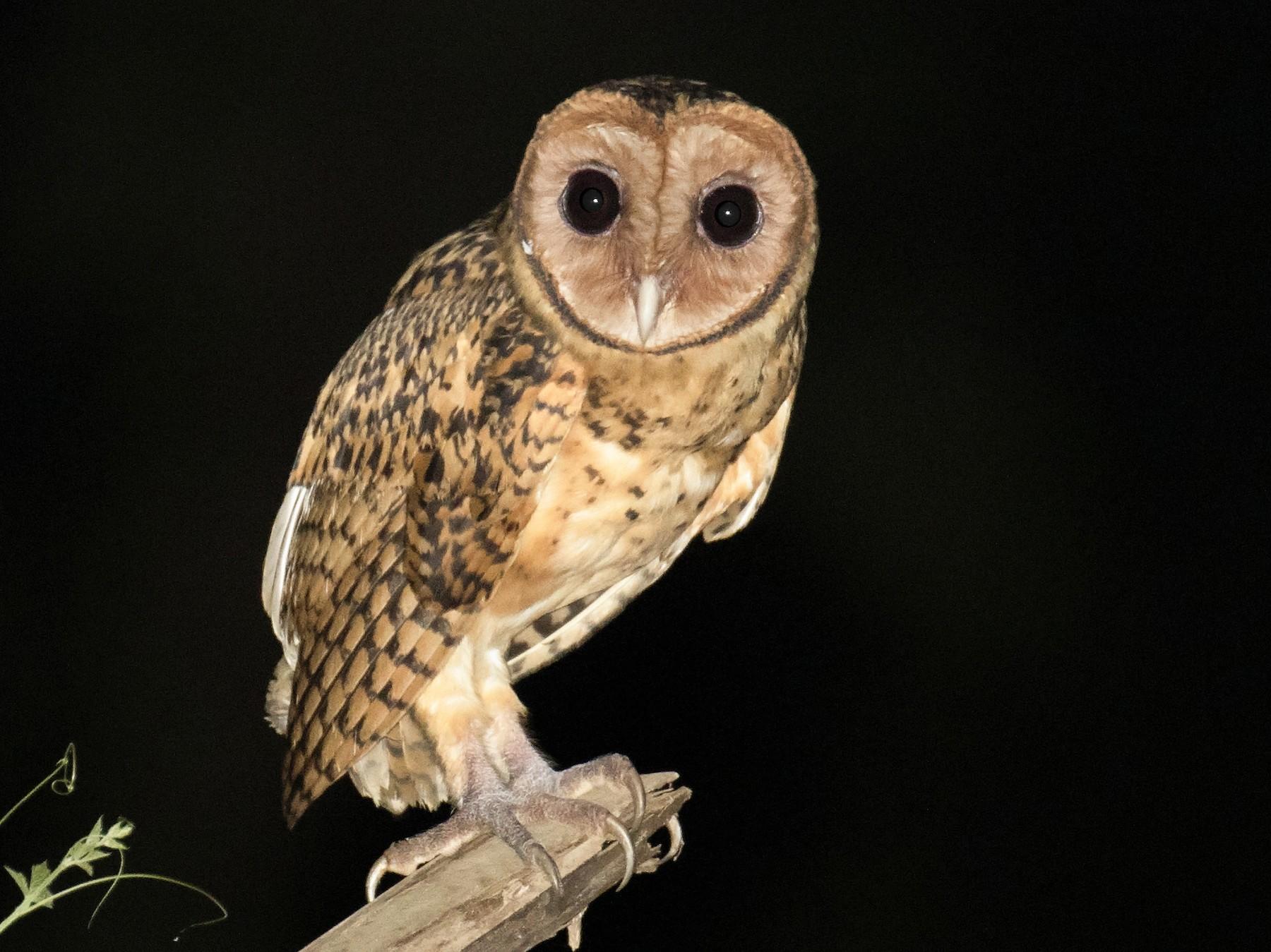 Golden Masked-Owl - daniel lopez velasco