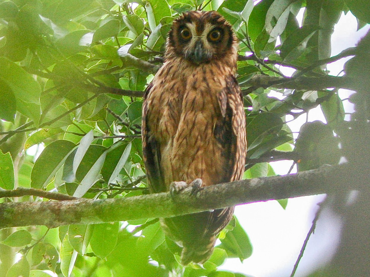 Fearful Owl - Guy Dutson
