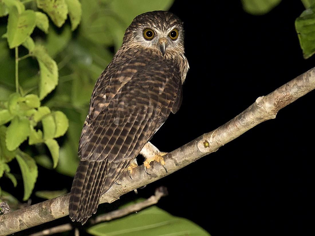 Papuan Owl - daniel lopez velasco