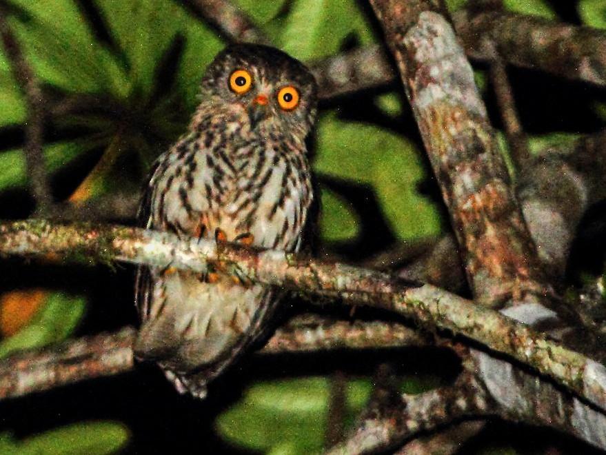 Papuan Owl - Butch Carter