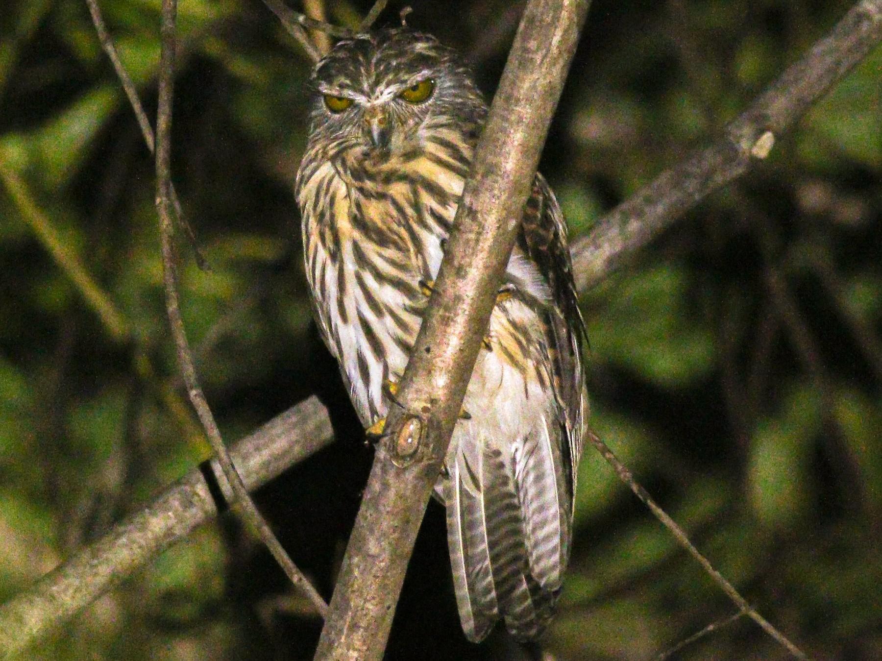 Papuan Owl - Wilbur Goh Soon Kit