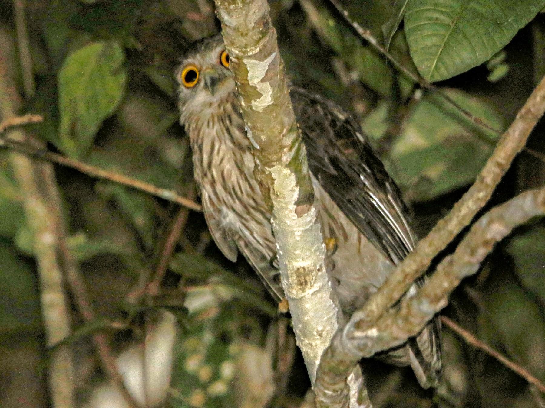 Papuan Owl - Bradley Hacker
