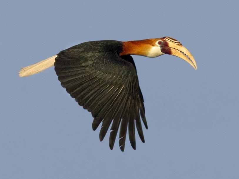 Blyth's Hornbill - Lars Petersson