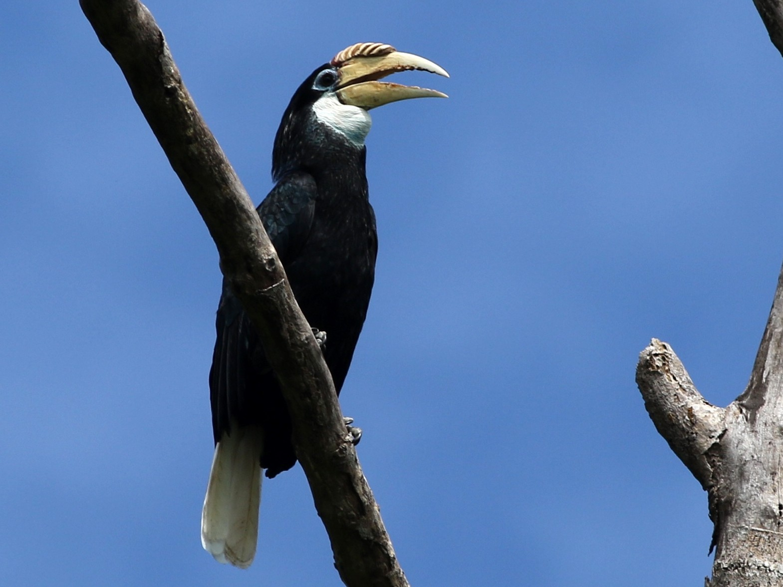 Blyth's Hornbill - Chris Wiley
