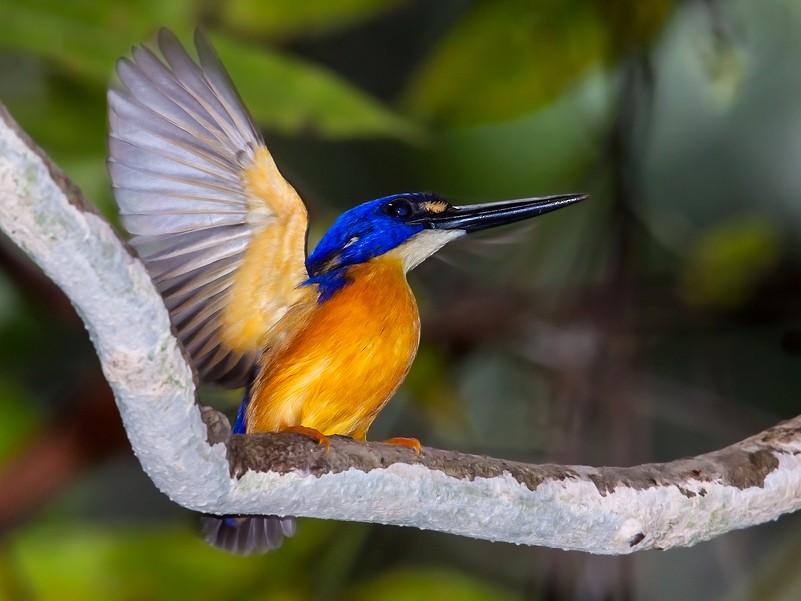 Papuan Dwarf-Kingfisher - Dubi Shapiro