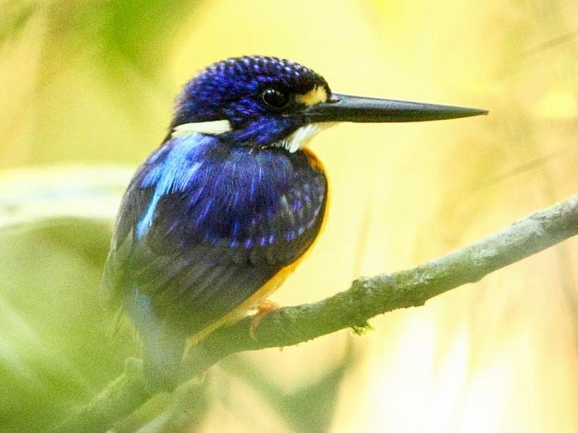 Papuan Dwarf-Kingfisher - Markus Lilje