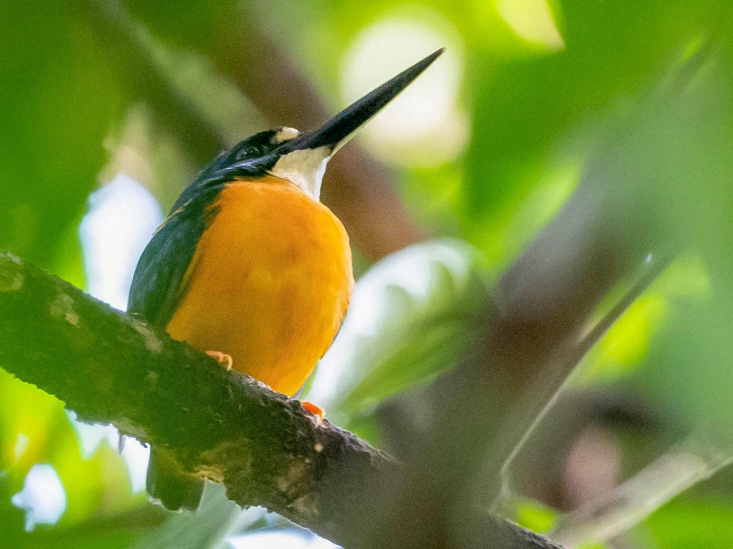 Papuan Dwarf-Kingfisher - Phil Chaon