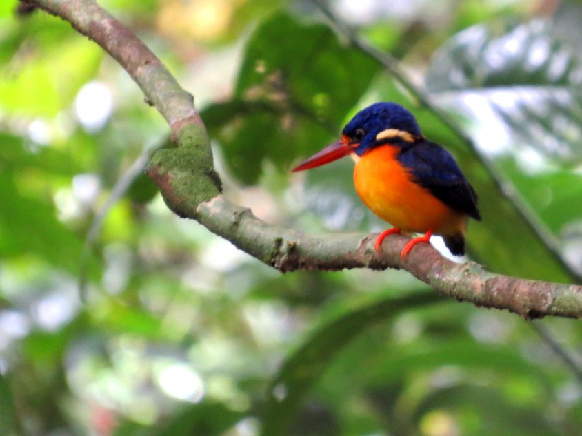 New Britain Dwarf-Kingfisher - Phil Gregory | Sicklebill Safaris | www.birder.travel