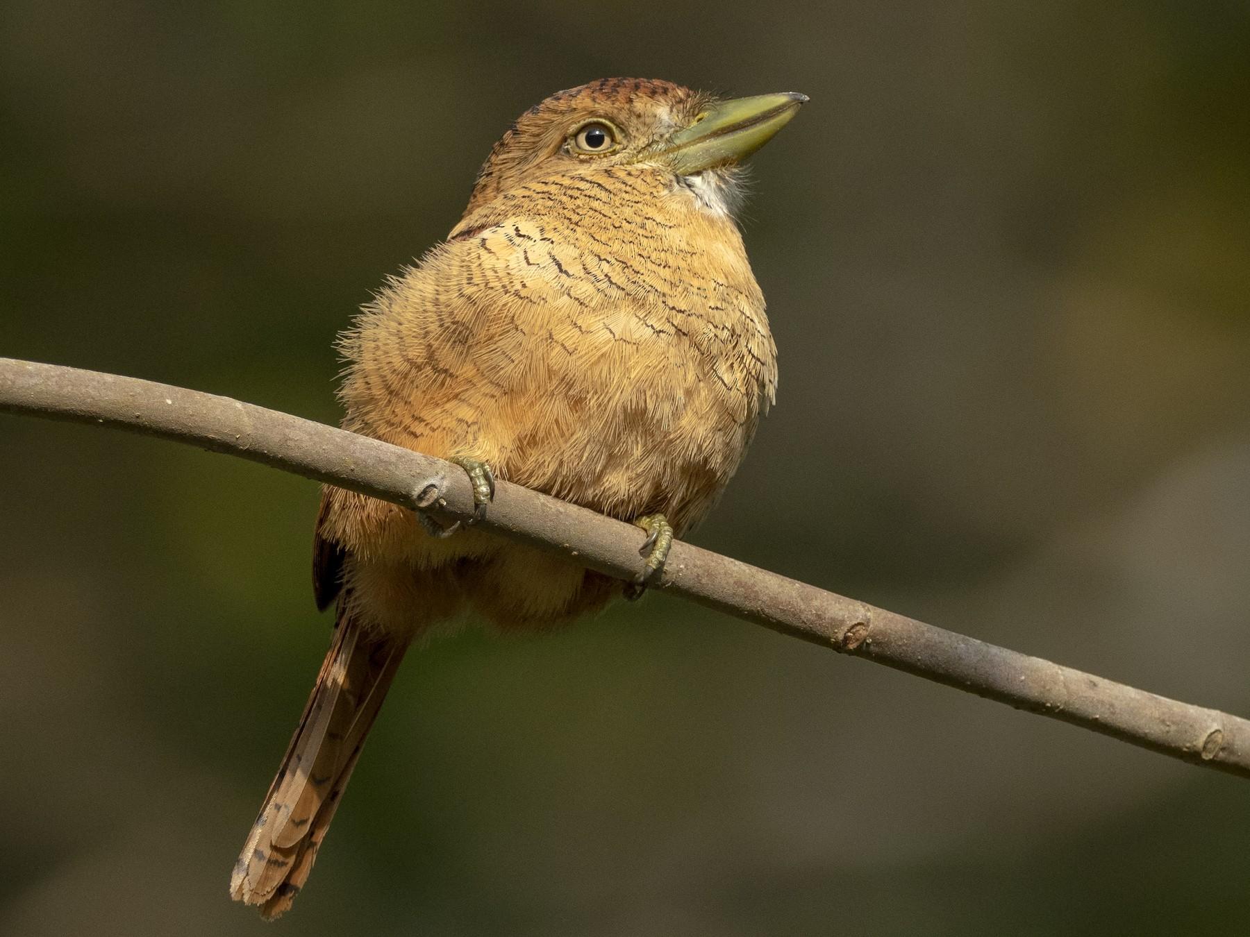 Barred Puffbird - Andres Vasquez Noboa - Tropical Birding Tours