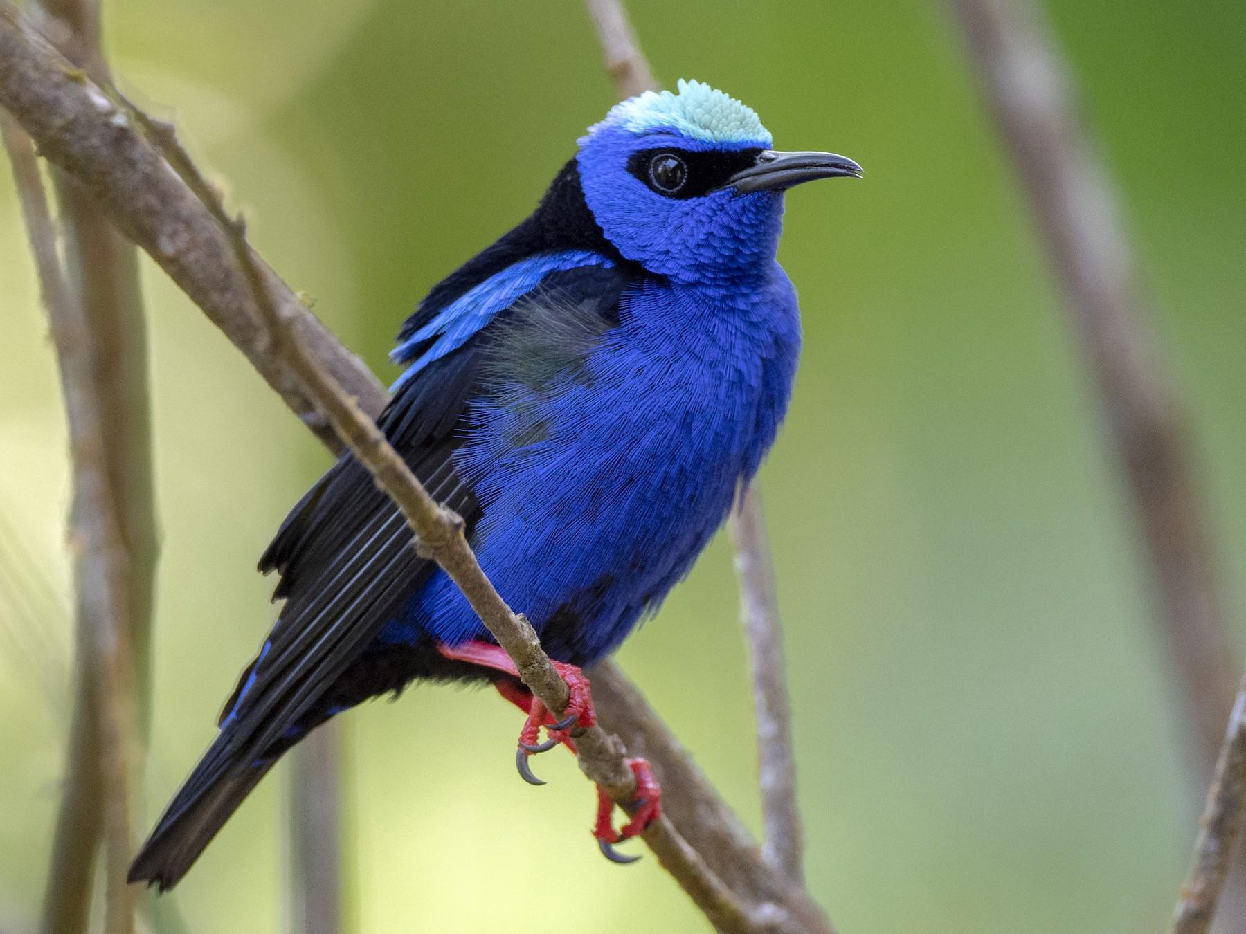 Red-legged Honeycreeper - Andres Vasquez Noboa - Tropical Birding Tours