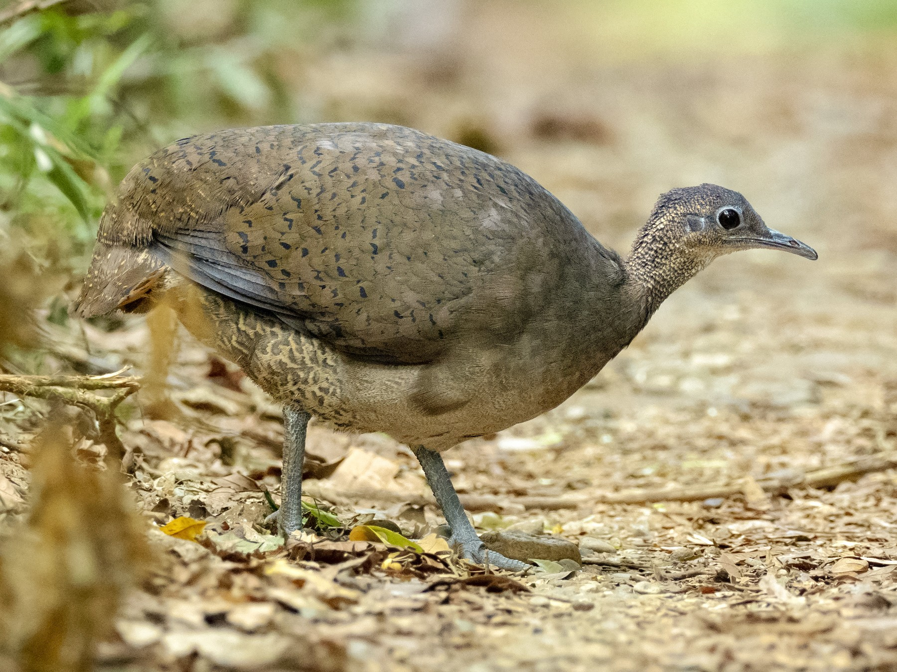 Great Tinamou - Andres Vasquez