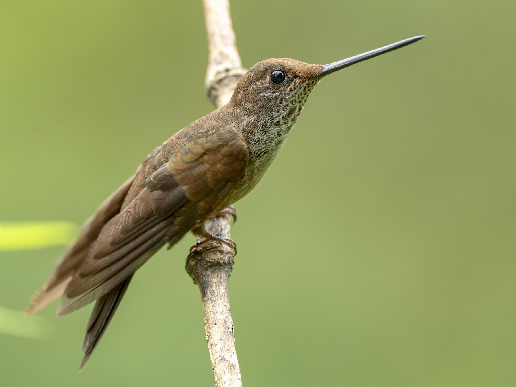 Bronzy Inca - Andres Vasquez Noboa - Tropical Birding Tours