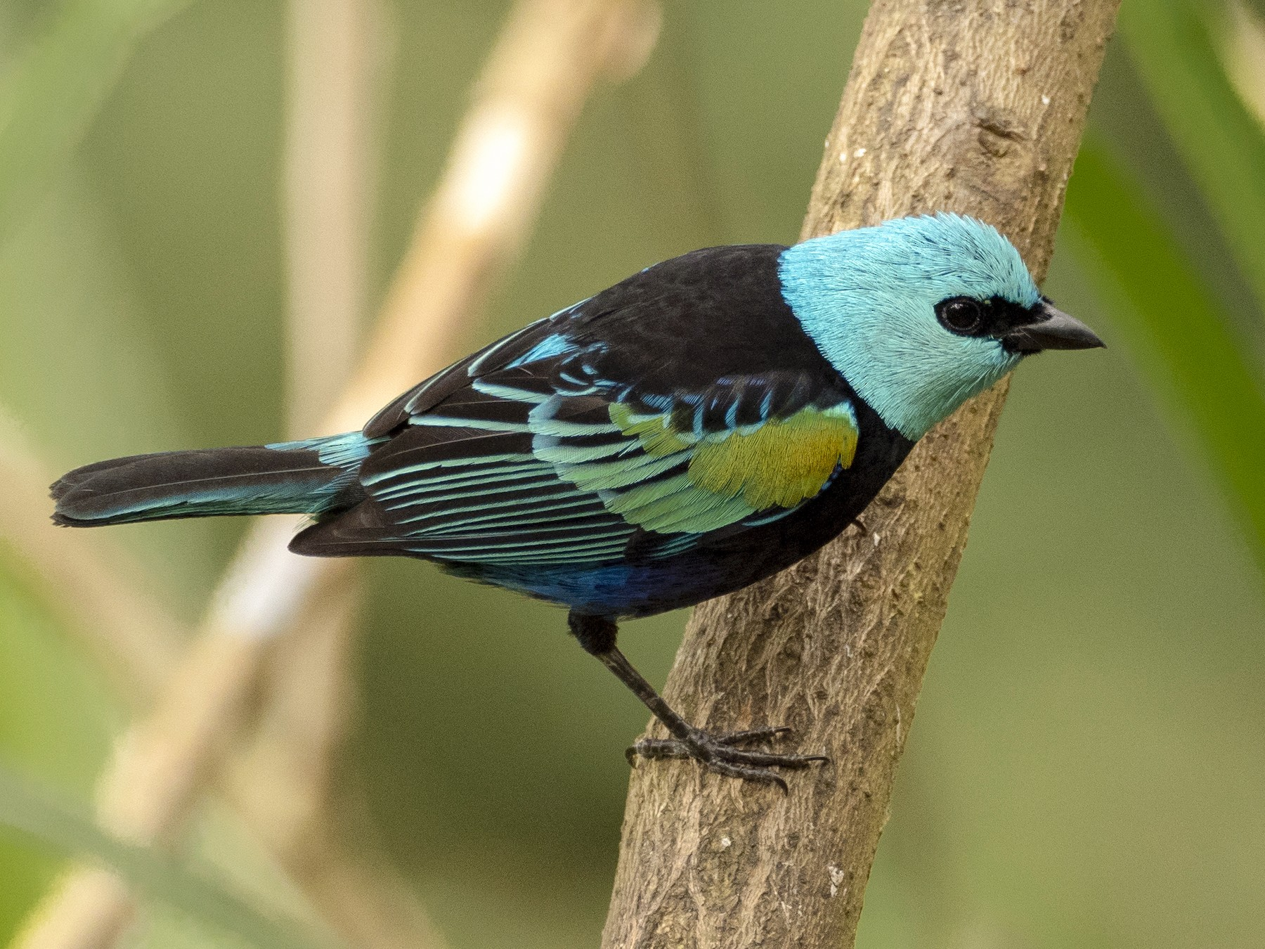 Blue-necked Tanager - Andres Vasquez