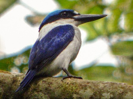 New Britain Kingfisher - Nik Borrow