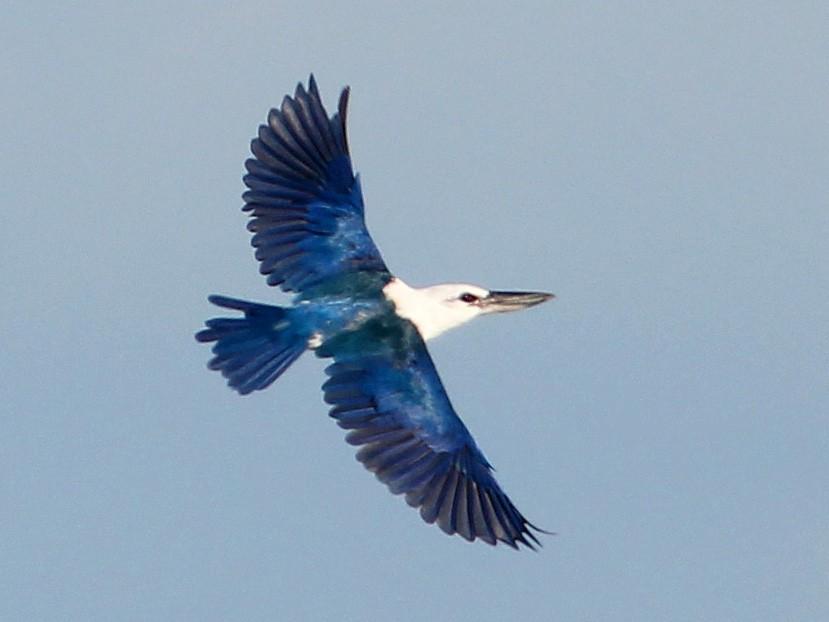 Beach Kingfisher - Ashley Banwell