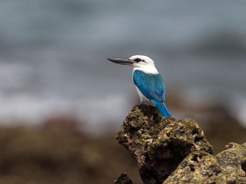 Beach Kingfisher - Christoph Moning