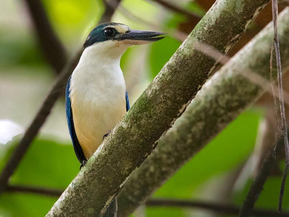 Melanesian Kingfisher - Lars Petersson