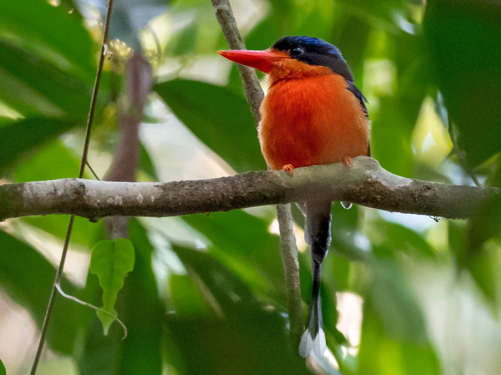 Red-breasted Paradise-Kingfisher - Phil Chaon