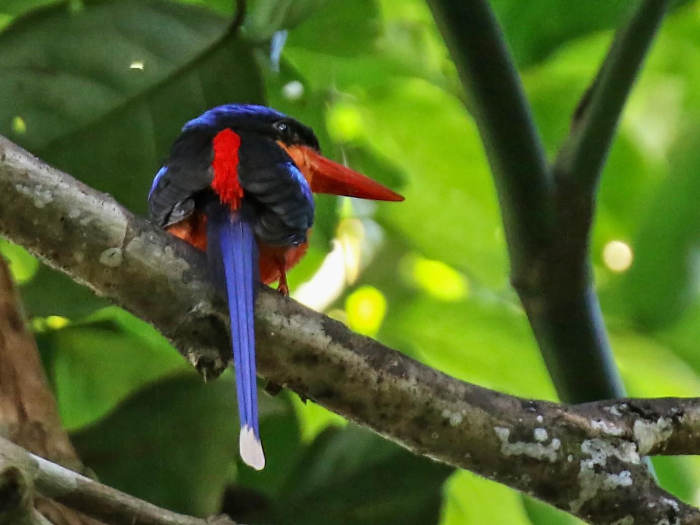 Red-breasted Paradise-Kingfisher - daniel lopez velasco