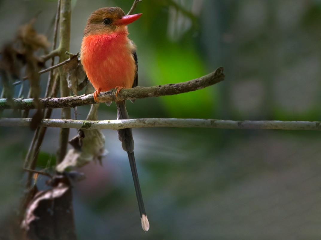 Brown-headed Paradise-Kingfisher - Lars Petersson