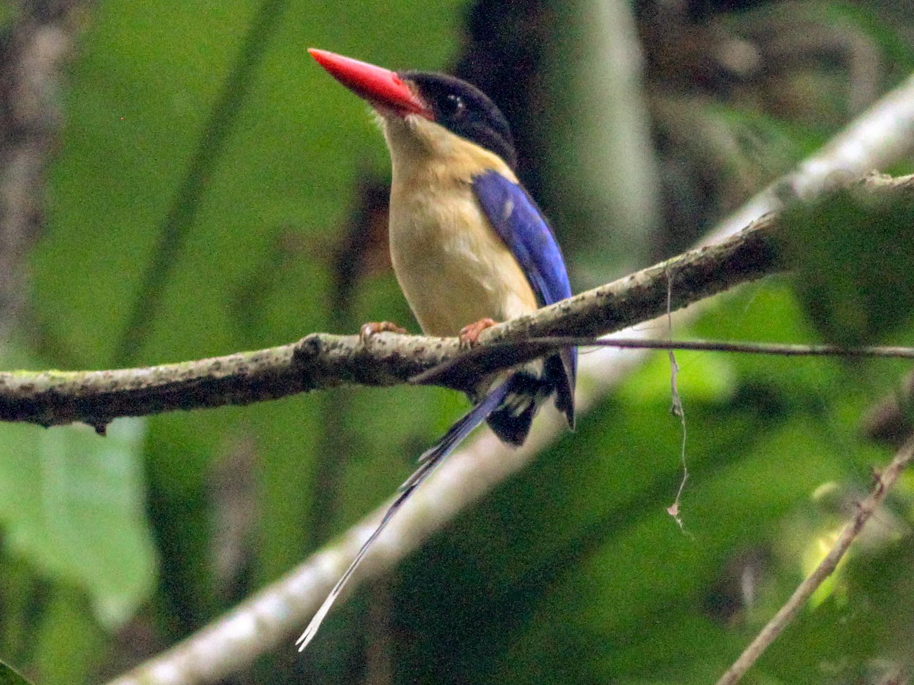 Black-capped Paradise-Kingfisher - Ashley Banwell
