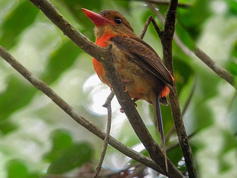 Brown-headed Paradise-Kingfisher - Nik Borrow