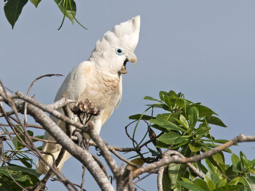 Ducorps's Cockatoo - Lars Petersson