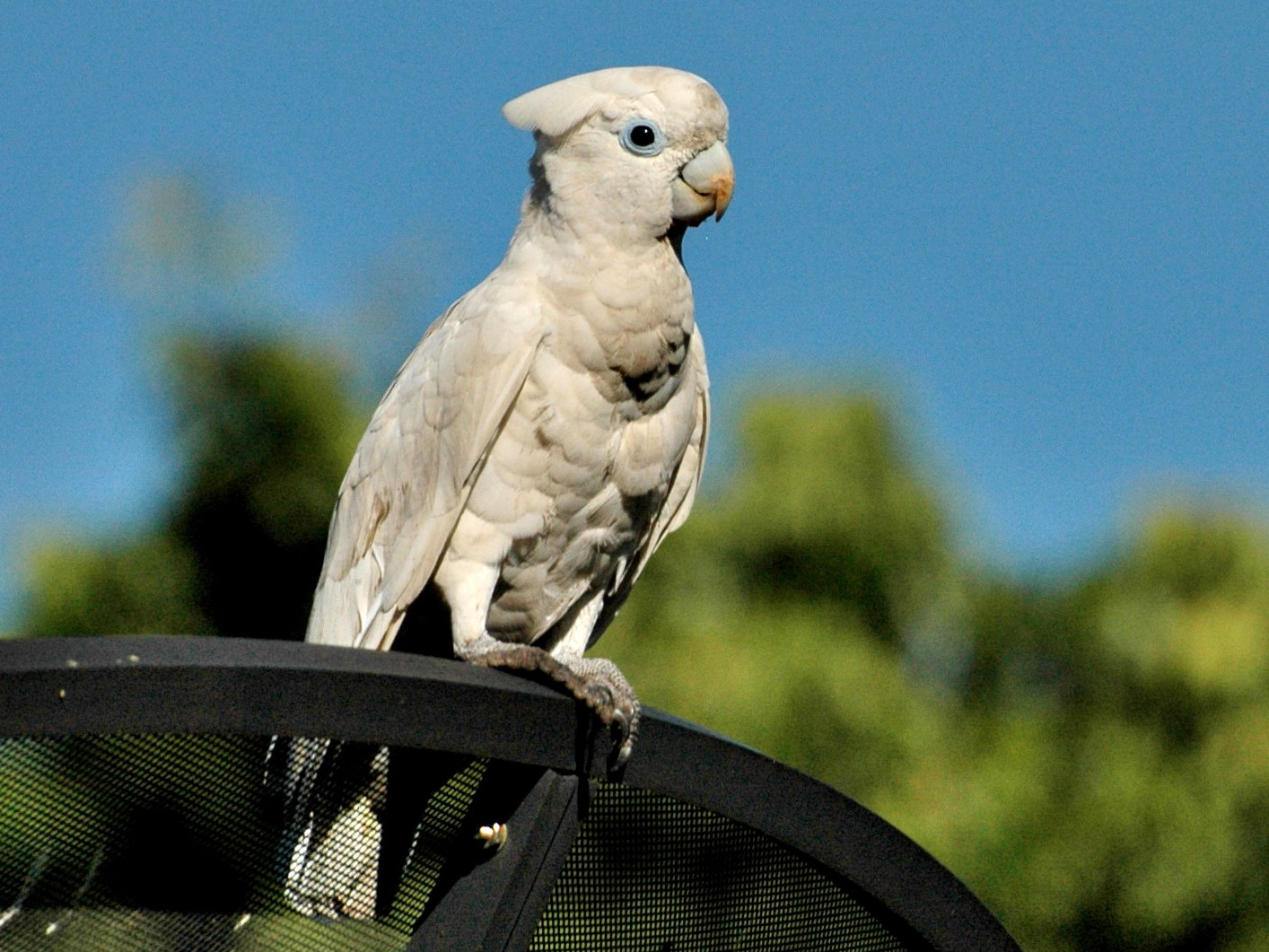 Ducorps's Cockatoo - Lee-Lien WANG